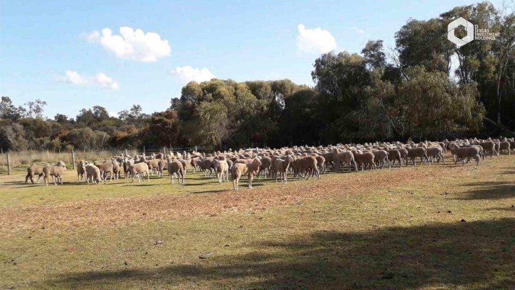 Australia - Sheep