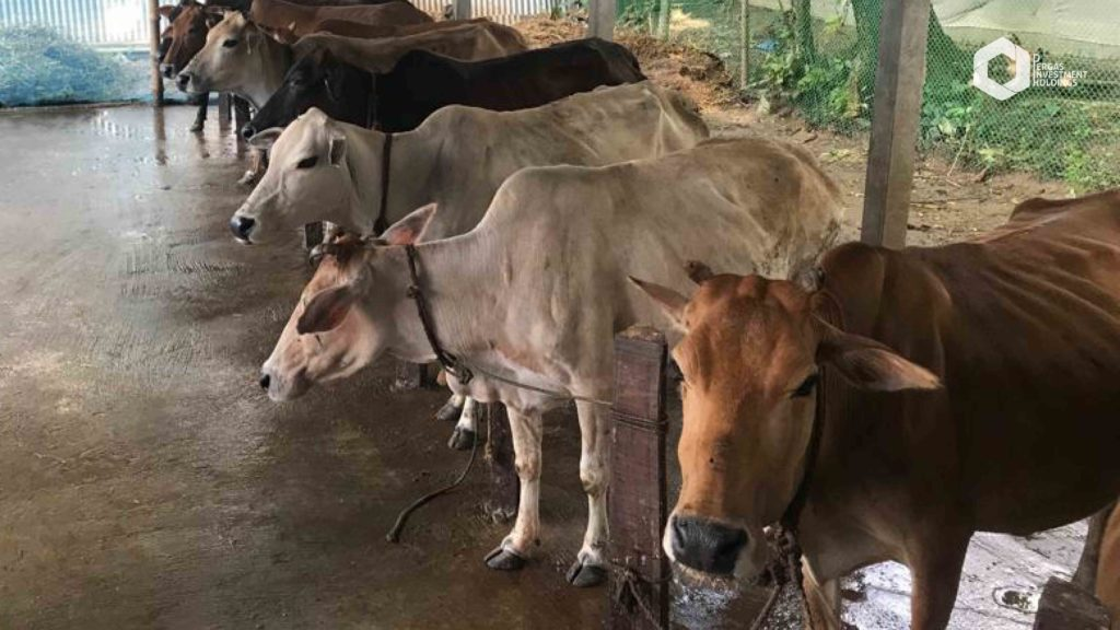 Bangladesh - Cattle